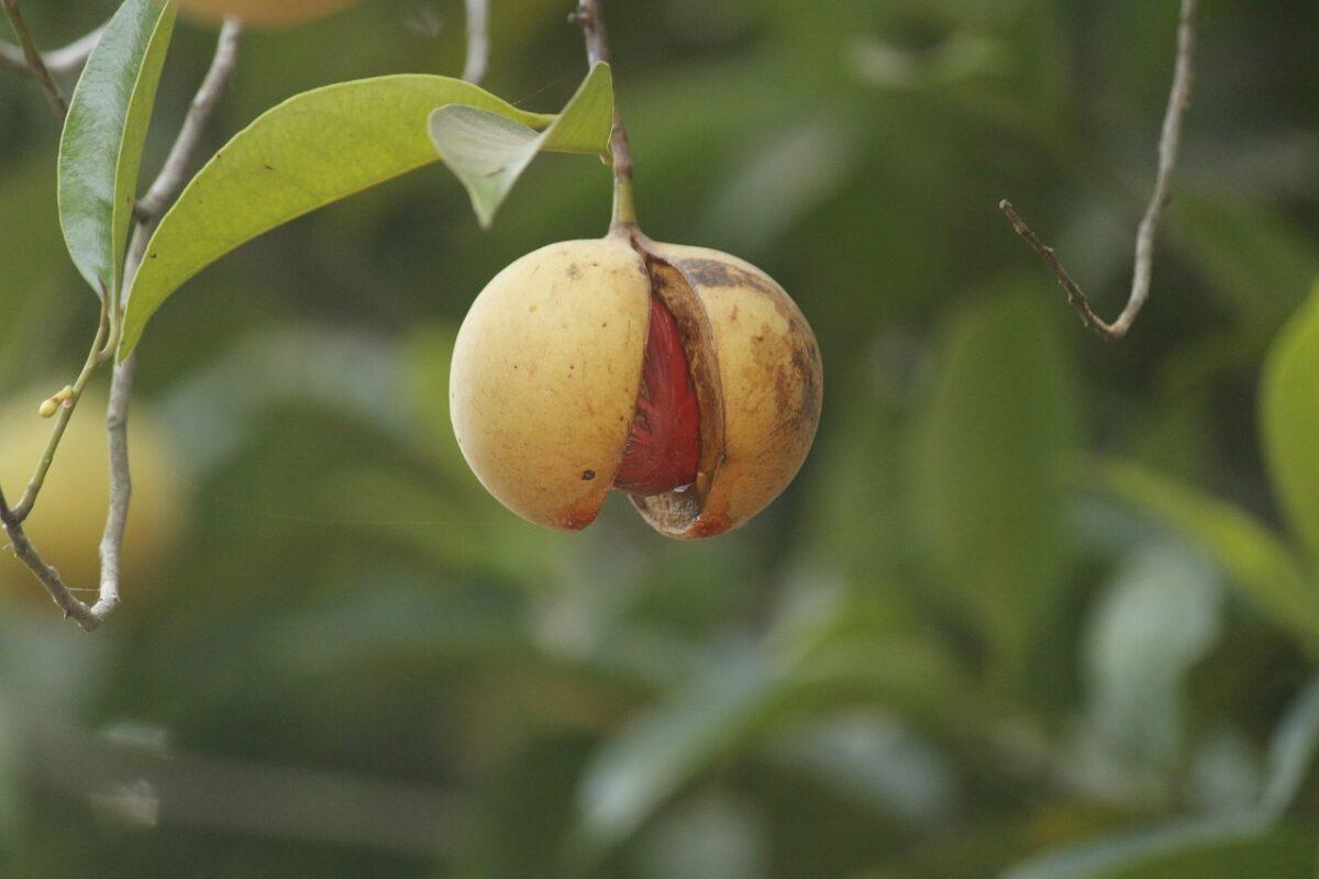 Индийско орехче (Nutmeg)