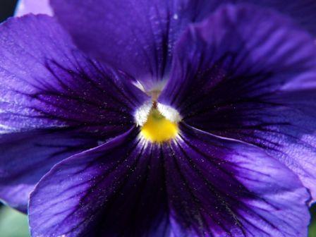Виолетова мисъл