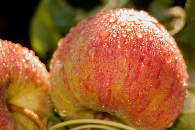 Ябълките намаляват риска от рак на дебелото черво