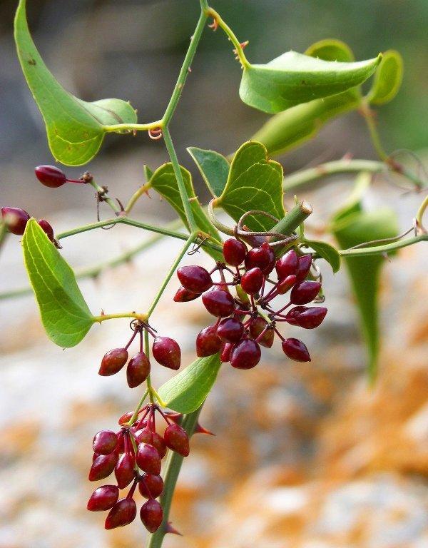 Сарсапарила (Sarsaparilla)