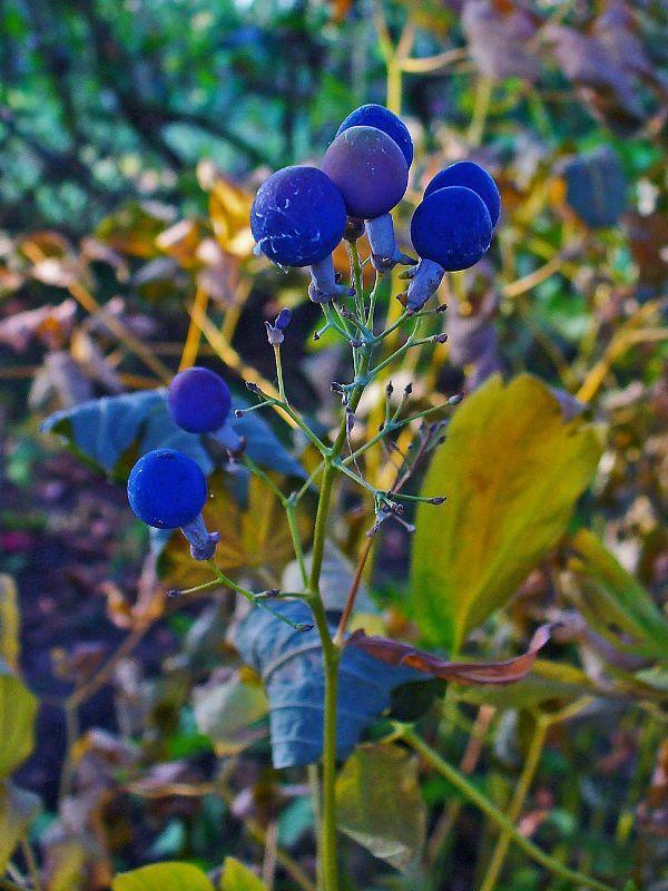 blue-cohosh