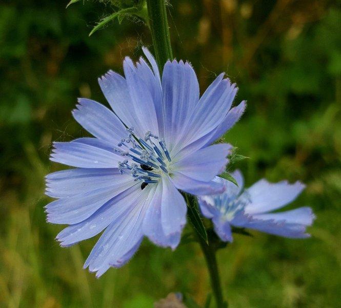 Цикория, Синя жлъчка (Chicory)