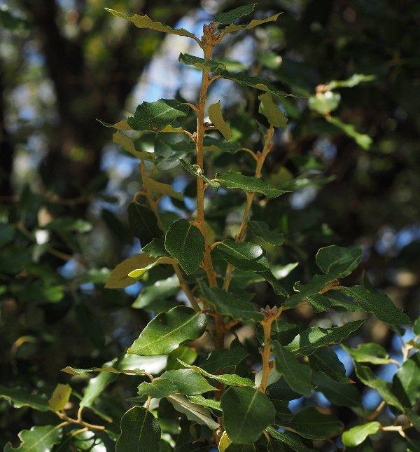 Камфорово дърво (Camphor)