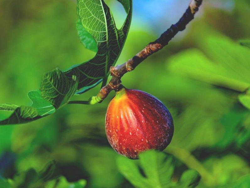 Смокиня (Fig)