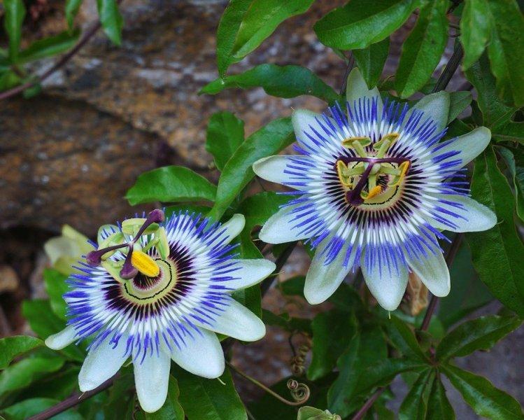 Пасифлора, часовниче (Passionflower)