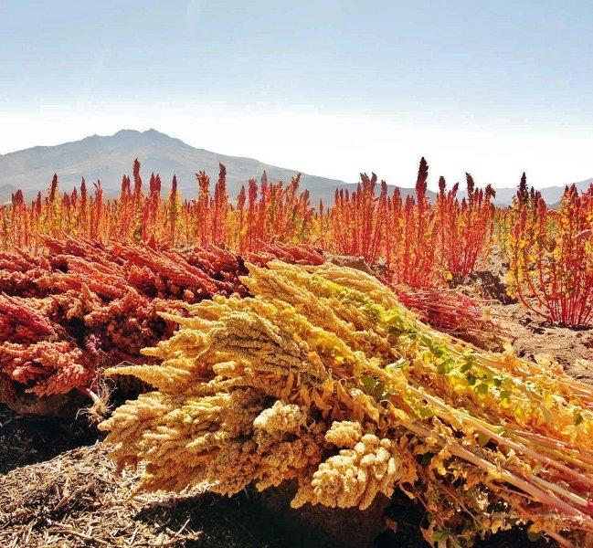 Киноа (Quinoa)