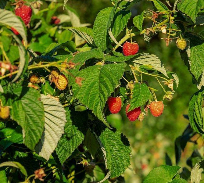 Малина (Raspberry)