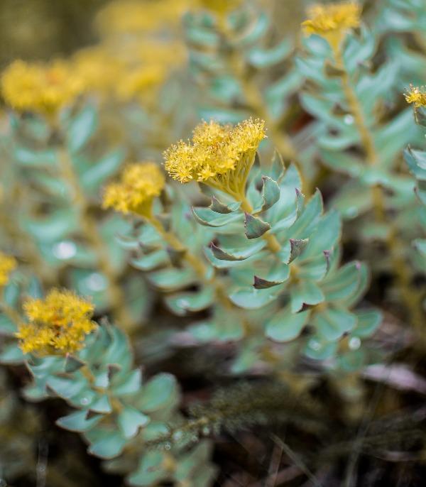 Родиола, златен корен (Rhodiola)