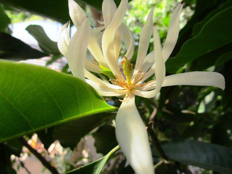 Сандалово/ санталово дърво (Sandalwood)