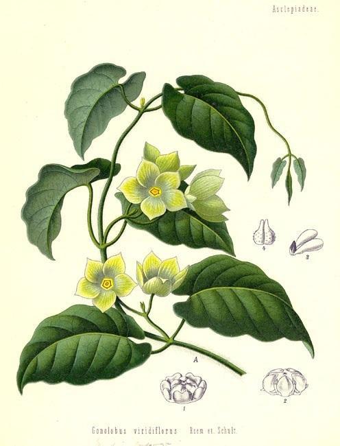 Кондуранго (Condurango)
