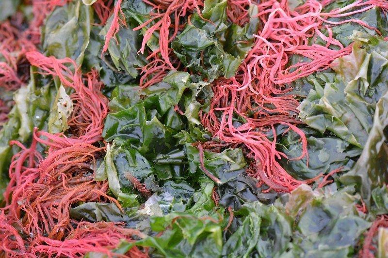 """Червени водорасли, """"ирландски мъх"""" (Carrageen)"""