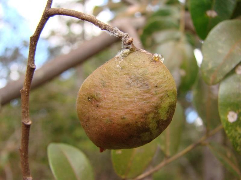 Копайба, дизелово дърво