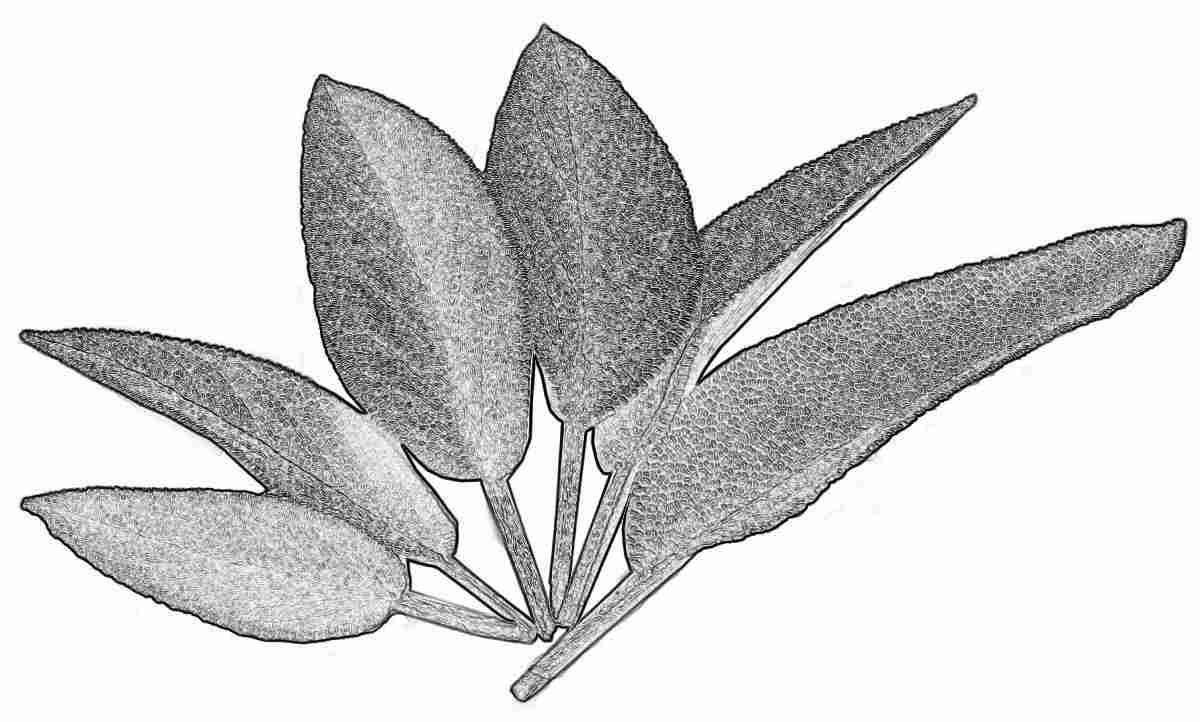 Съновник - градински чай