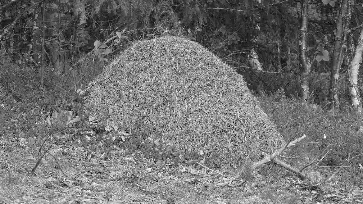 Съновник - мравуняк, мравка