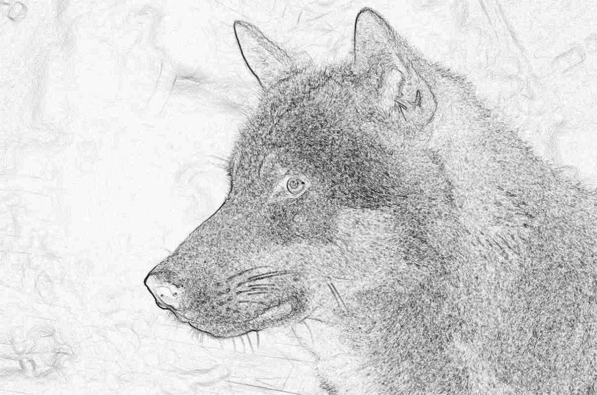 Съновник - вълк