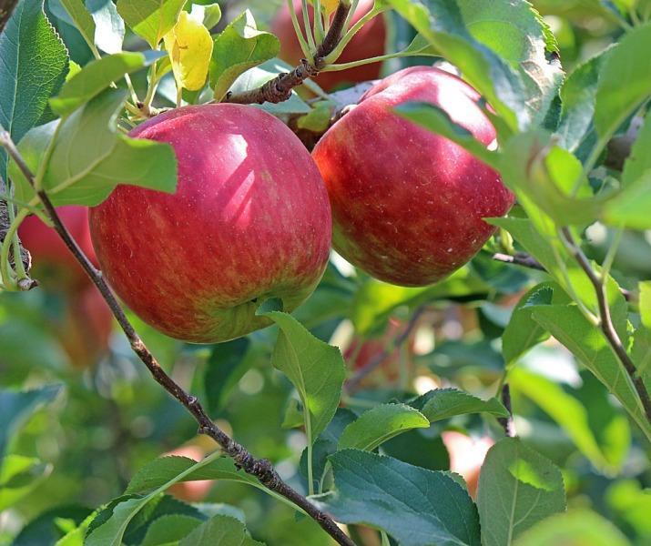 Повишаване на имунитета с чай от джинджифил и ябълки!
