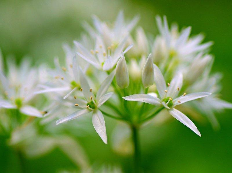 wild-garlic-flowers