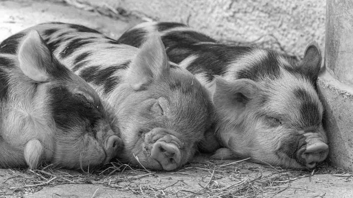 Съновник - свиня, прасе