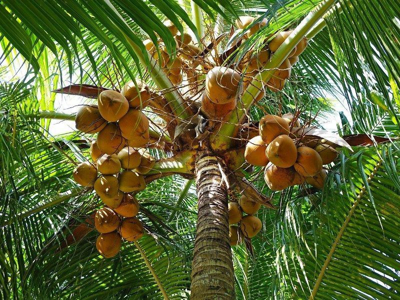 coconuts-tree