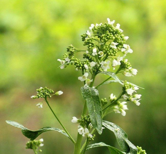 хрян (horseradish)