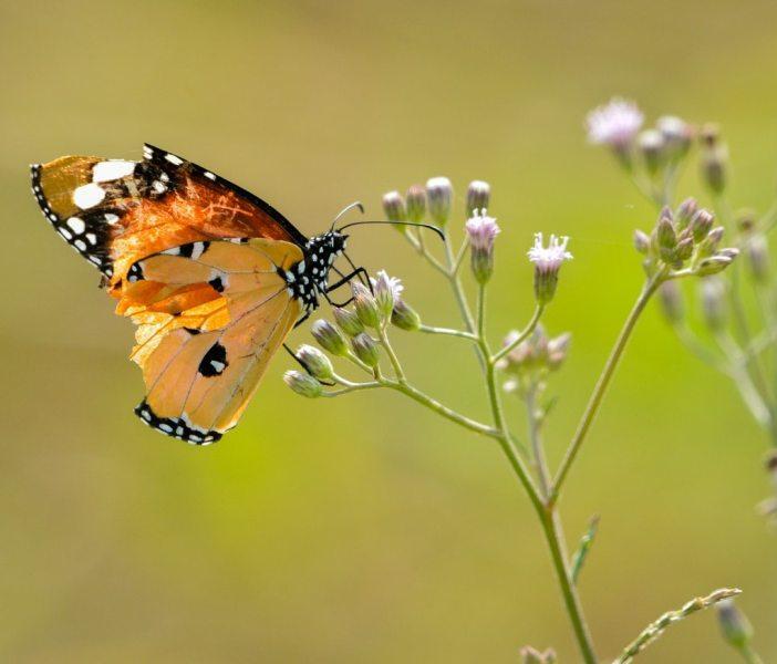 butterfly_12